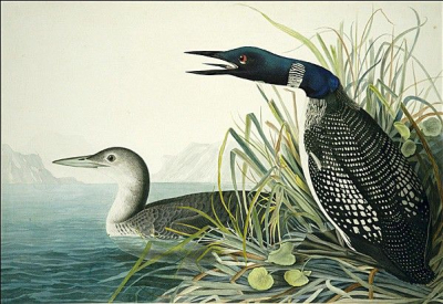 Northern Diver