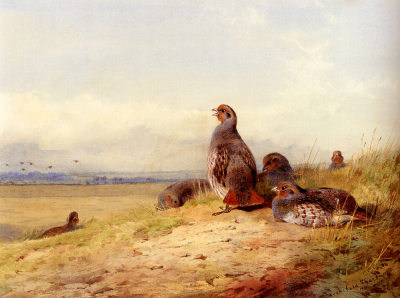 Red Partridges