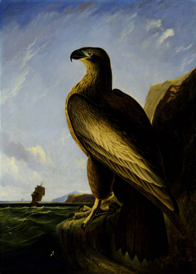 Washington Sea Eagle