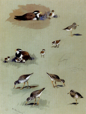 Study of Sandpipers, Cream-Colored Coursers, and Other Birds