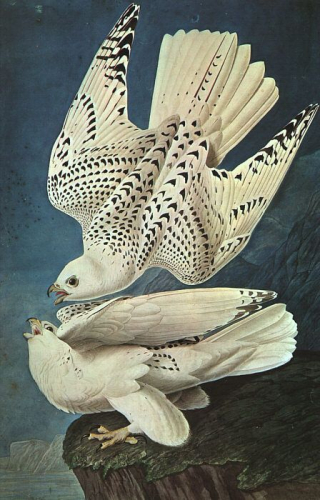 White Gerfalcons