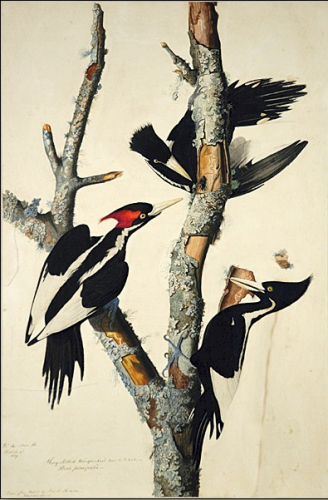 vory-Billed Woodpecker