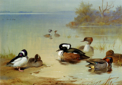 Buffel-Headed Duck, American Green-Winged Teal, and Hooded Merganser